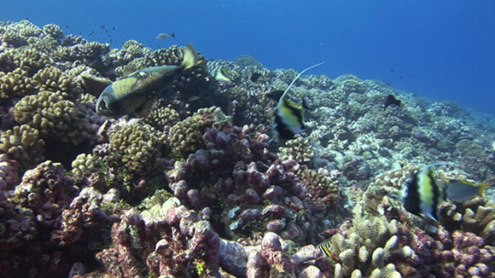 Rangiroa, Titan trigger fish and banner fishes collabating over the coral