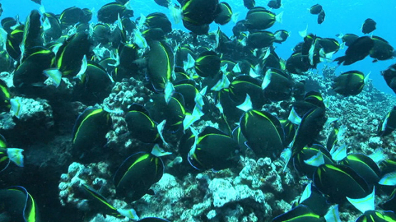 Acanthurus nigricans, surgeon fishes eating on the reef