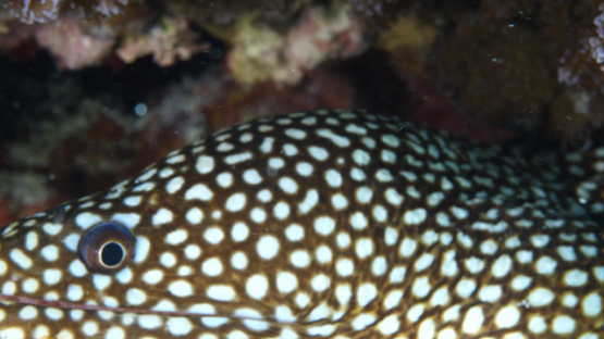 Moorea, white spotted moray eel shot macro, 4K UHD