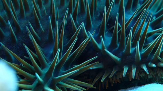 Spines of Crown of thorns starfish shot macro, 4K UHD, Moorea