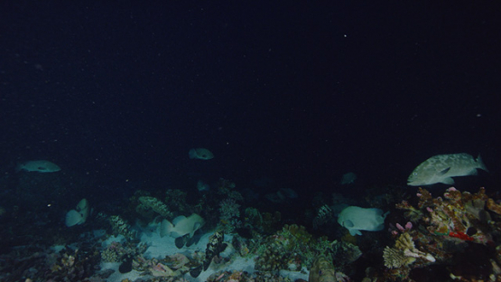 Fakarava, marbled groupers spawning at night in the pass, 4K UHD