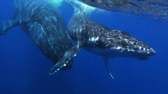 Humpback whales swimming, mother and calf, Tahiti, Polynesia