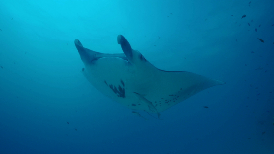 Tikehau, manta ray swimming over the camera, 4K UHD