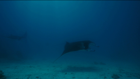 Tikehau, two manta rays mating, males chasing a female, 4K UHD