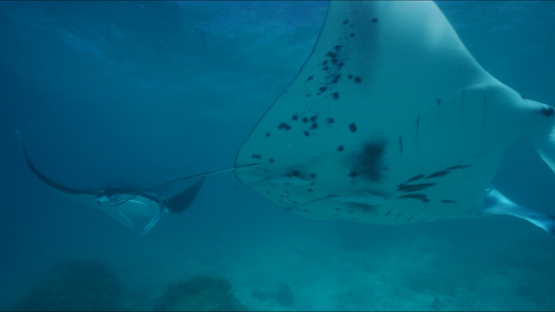 Tikehau, Manta rays swimming in the lagoon, 4K UHD