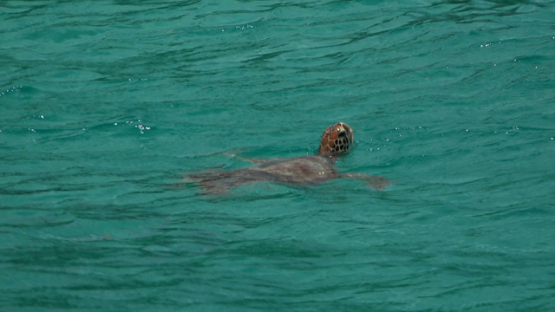Green sea turtle breathing at the surface of the lagoon, Moorea