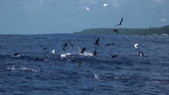 Marine birds, brown noddi, hunting over the ocean Moorea