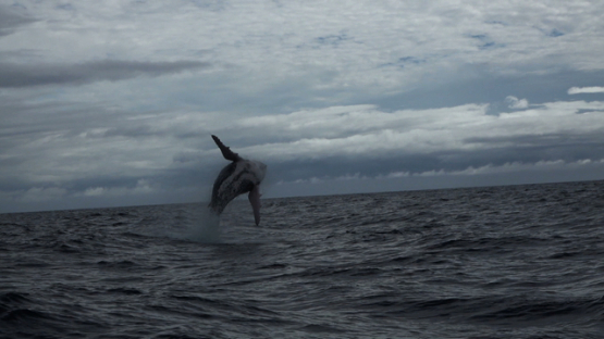 Humpback whale jumping out of the ocean, Moorea