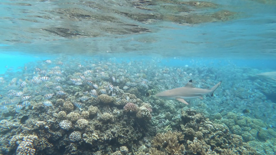 Black tip shark and group of convict tang fishes over the coral reef