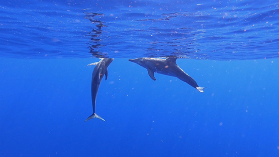Two Spinner dolphins socializing at the surface in the ocean, Moorea