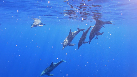Six Spinner dolphins swimming in the ocean, Moorea