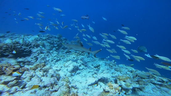 White tip lagoon shark swimming over the reef, close to camera, Tuamotu