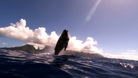 Humpback whale jumping out of the ocean and splashing the surface, Moorea