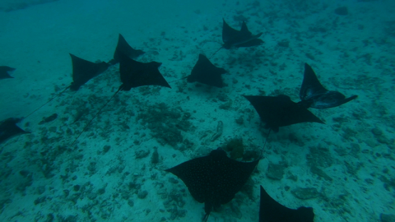Moorea, group of spotted eagle rays in the lagoon swimming in the lagoon
