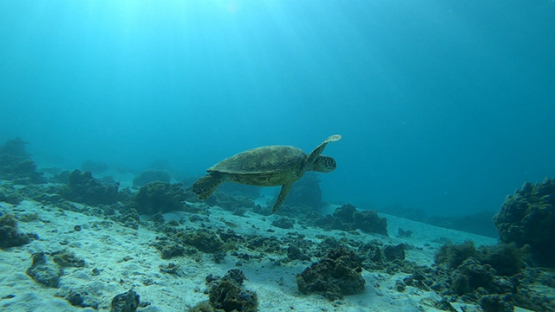 Green sea turtle swimming in the lagoon under the sunrays, Moorea