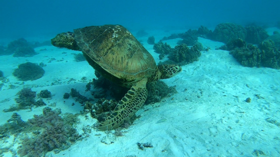 Green  sea turtle in the lagoon, Moorea