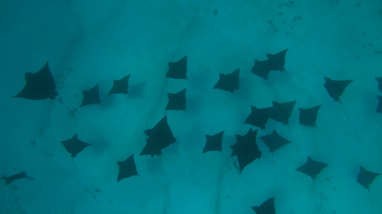 Moorea, group of spotted eagle rays swimming in the lagoon, shot from above