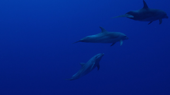 Rangiroa, group of Dolphins tursiops swimming front of the camera, 4K UHD
