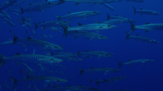 Rangiroa, barracudas schooling in the blue, 4K UHD