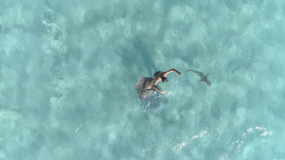 Moorea, aerial view of a man swimming with sting rays and black tip shark, 4K UHD