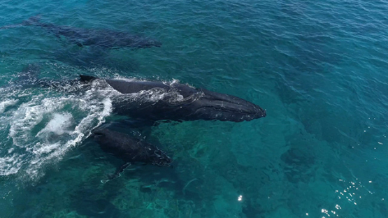 Rurutu, Aerial view of humpback whales along the reef with calf, 4K UHD