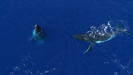 Rurutu, Aerial view of humpback whales in the bay, 4K UHD