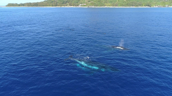 Rurutu, Aerial view of snorkelers watching a humpback whale at the surface, 4K UHD