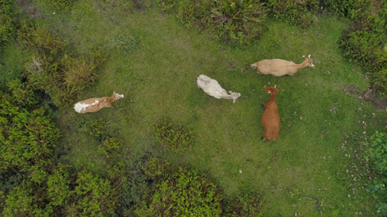 Tubuai, aerial view above a few beefs in the fields, 4K UHD