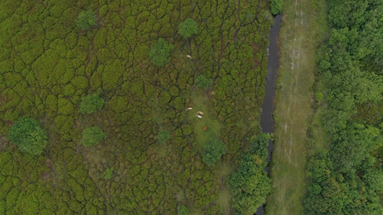 Tubuai, aerial view above a herd of beefs in the fields, 4K UHD