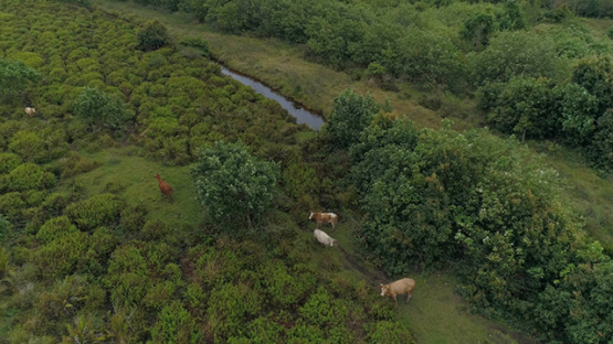 Tubuai, aerial view of a small herd of beefs in the fields, 4K UHD