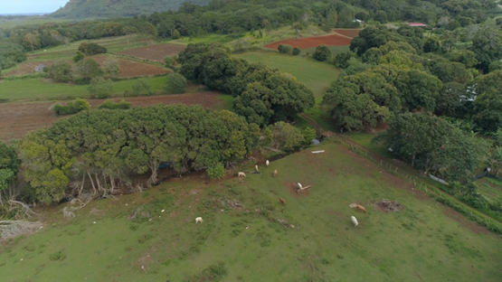 Tubuai, aerial view of the plain of Huahine and herd of cows, 4K UHD