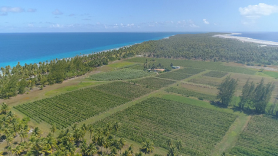 Rangiroa, aerial view of the vine in the middle of the coconut grove, 4K UHD