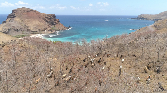 Ua Pou, aerial view of herd of goats in Aneou Bay and Hakanai beach, 4K UHD