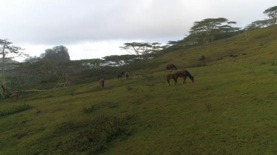 Nuku Hiva, aerial view of a herd of horses in the valley Taipivai, 4K UHD