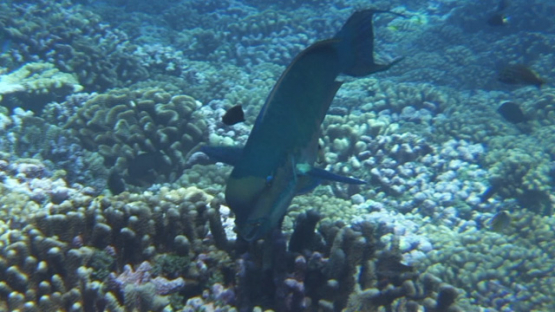Big blue parrot fish evolving over the coral garden, Rangiroa reef