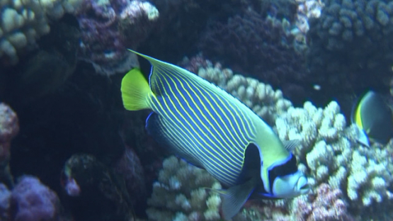 Pomacanthus imperator, Emperor angelfish evolving over the coral garden, Manihi reef