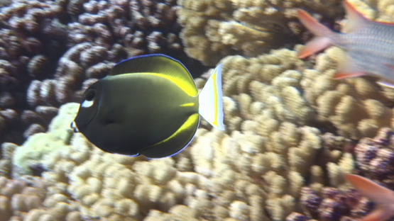 Black surgeonfish evolving over the coral garden, Acanthurus nigricans, Manihi reef