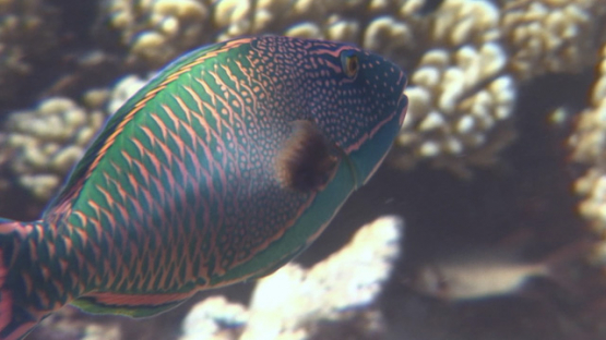 Bicolore parrot fish evolving over the coral garden, Manihi reef