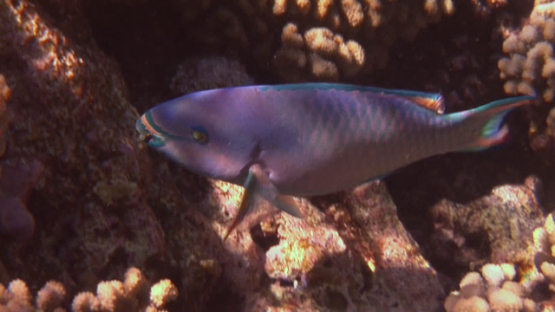Purple parrot fish evolving over the coral garden, Manihi reef