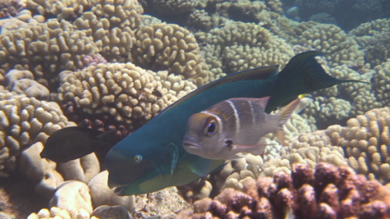 Big blue humphead parrot fish evolving over the coral garden, Manihi reef