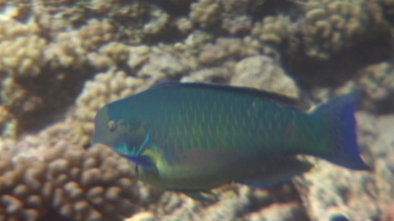 Big blue Parrot fish evolving over the coral garden, Manihi reef