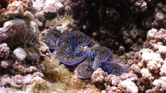 Tridacna maxima, Sea oyster  in the coral formation in the lagoon of Moorea