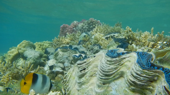Tridacna maxima, Tropical oysters over the coral formation in the lagoon of Reao