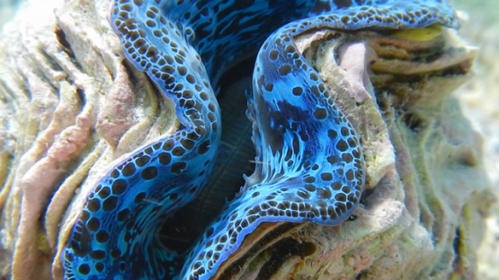 Tridacna maxima, Tropical blue oyster in the coral formation in the lagoon of Reao