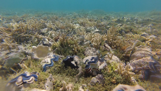 Tridacna maxima, Tropical oysters in the coral formation in the lagoon of Reao