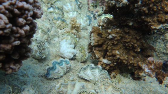 Tridacna maxima, Tropical juvenile oysters over the coral formation in the lagoon of Moorea