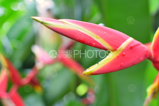 Heliconia chartacea, Pink balisier, tropical flower of Tahiti