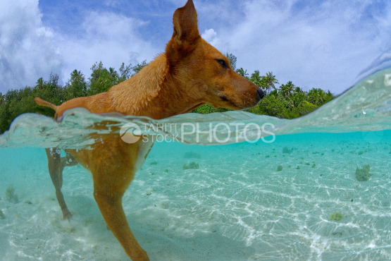 motu dog, dog taking a bath in the lagoon of Moorea
