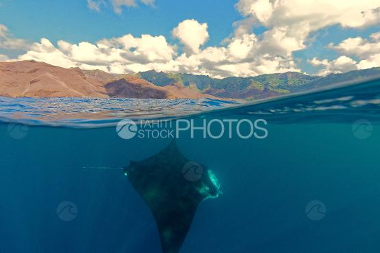 manta ray swimming near the coast, Marquesas islands