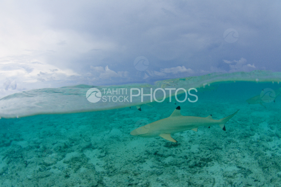 black tip shark in the lagoon of bora bora under stormy sky